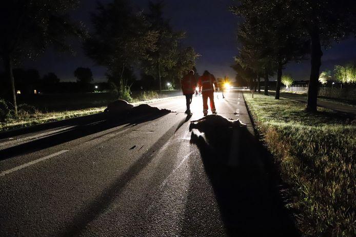 De pony's op de N264 tussen Haps en Oeffelt na de fatale aanrijding.