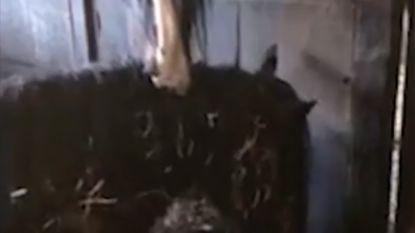 Dit paard lijkt stervende merrie te bijten, maar dan blijkt dat hij het leven van zijn stalgenoot redt