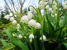Deze bloembollen houden wél van de Nederlandse drassige grond