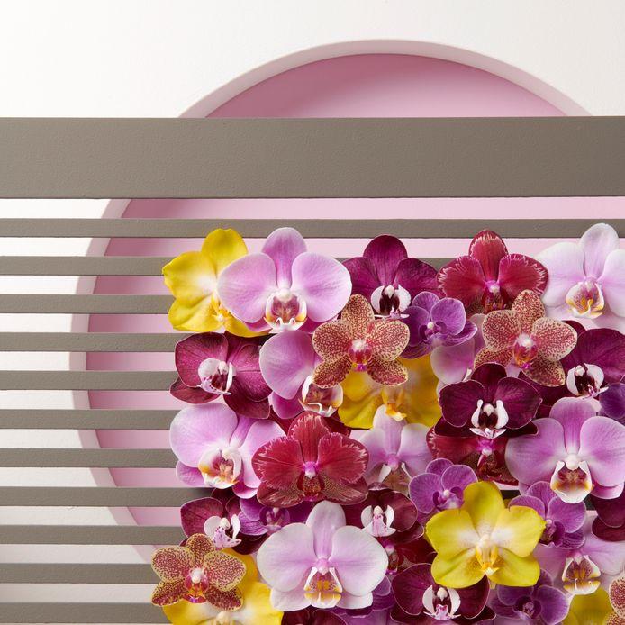 orchideeën van Opti-flor in Monster