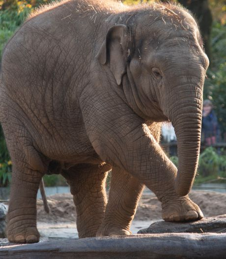 Rampjaar voor Dierenpark Amersfoort, nu weer een olifant dood: 'Wat blijft ons niet bespaard?'