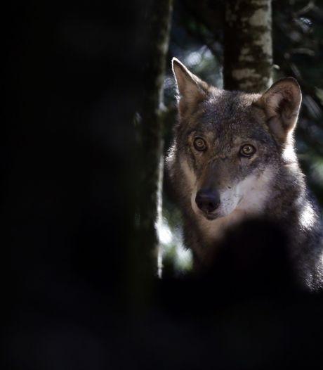 La commune d'Oudsbergen autorise une marche contre la présence de loups