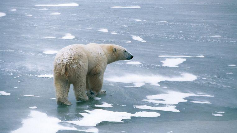 Een ijsbeer die vorig jaar werd gespot nabij Churchill. Beeld REUTERS