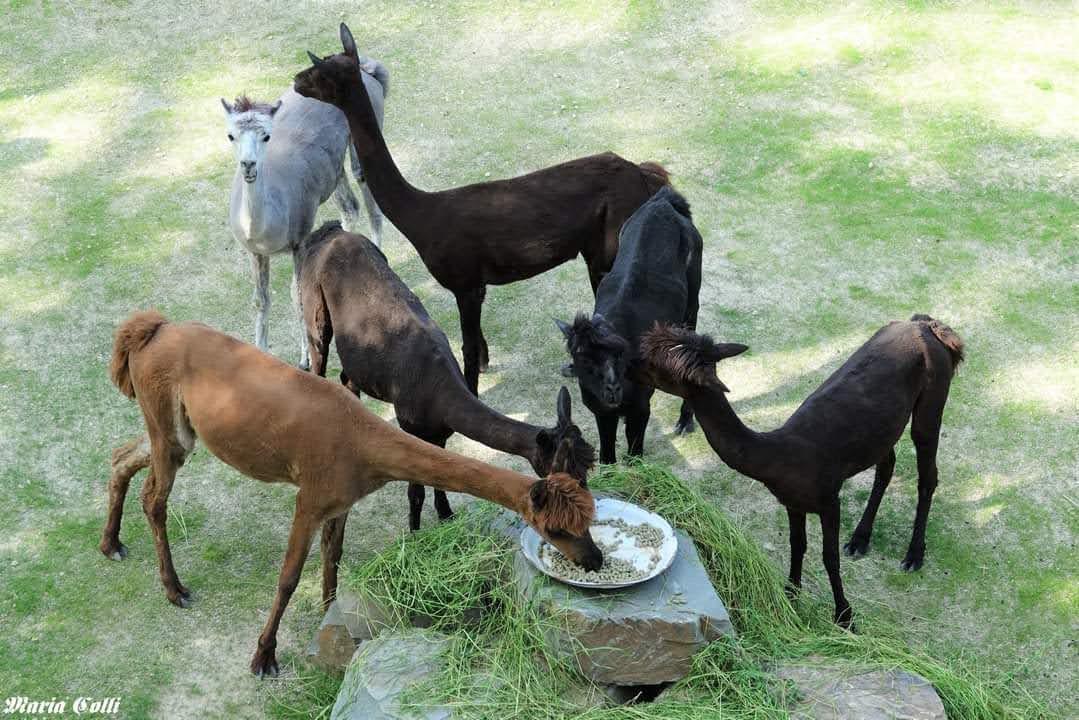 De alpaca's in hun nieuwe verblijf in ZOO Antwerpen.