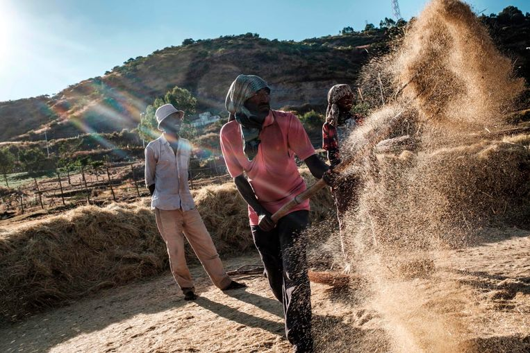 Ethiopiërs, ver weg van het slagveld, bezig met de graanoogst. Beeld Eduardo Soteras Jalil / AFP