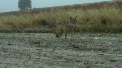 Wolf August zet kangoeroe op kerstmenu