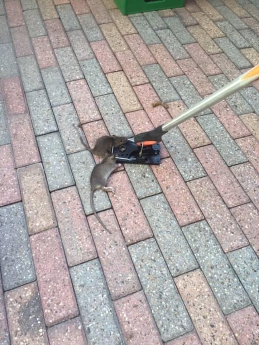 Twee ratten in één val in de Lingestraat