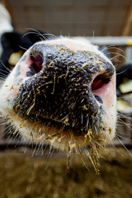 Provincie worstelt met toekomst veehouderij