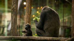 Gorilla Mambele in blijde verwachting