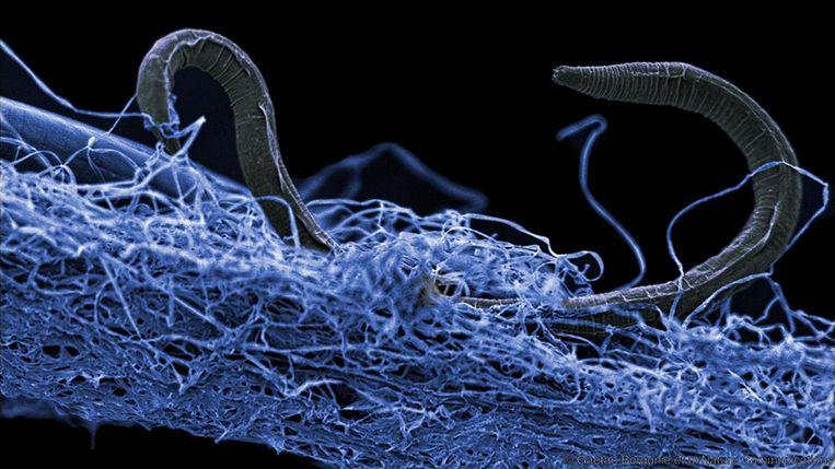 Een nematode of rondworm in een biofilm van micro-organismen. Dit organisme werd ontdekt in Zuid-Afrika op een diepte van 1,4 kilometer. Beeld Deep Carbon Observatory