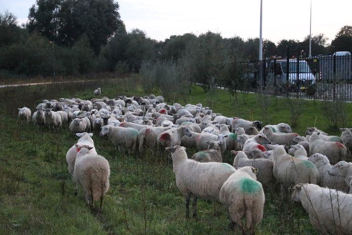 De schapen in Doesburg.