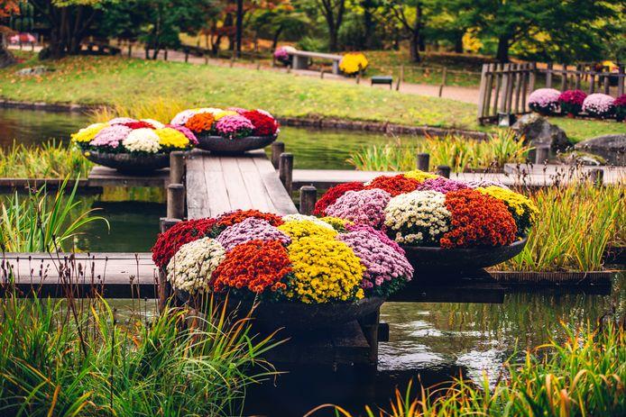 Het Chrysantenfestival keert vanaf oktober weer terug naar de Japanse Tuin.