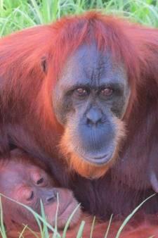 Orang-oetanmoeder springt uit verblijf om zoontje te redden