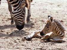 Zebra bevalt van jong onder oog van bezoekers in Burgers' Zoo