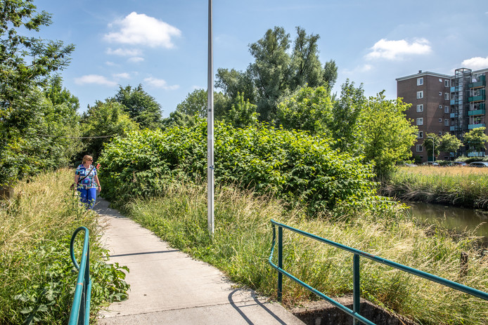 Langs het Almelose kanaal groeit de plant op tot complete struiken.