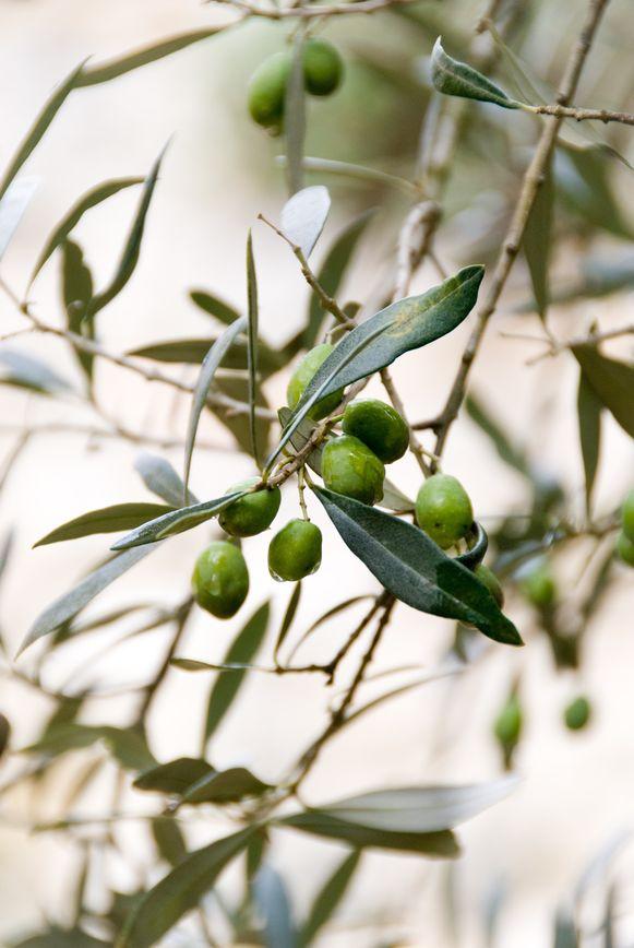 Illustratiebeeld - De man trachtte een olijfboompje te stelen bij een bloemenwinkel.