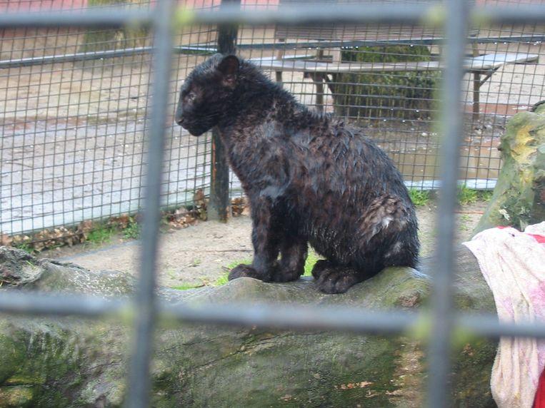 Een luipaardwelpje, weggehaald bij de moeder, tentoongesteld in een veel te kleine kooi: een van de vele overtredingen die de Olmense Zoo beging. Beeld RV