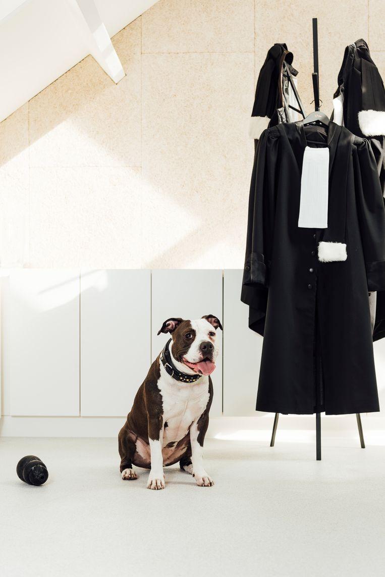 De Amerikaanse bulldog Noa mag mee naar kantoor met advocate Astrid Helmer.  Beeld Sarah Van Looy