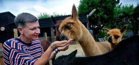 Eindelijk! Ontbijten en lunchen tussen alpaca's kan weer (en er zijn kleintjes op komst)