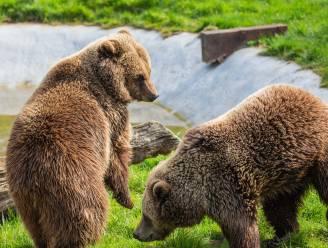 Britse dierentuin schiet bruine beren dood na ontsnapping via omgevallen boom