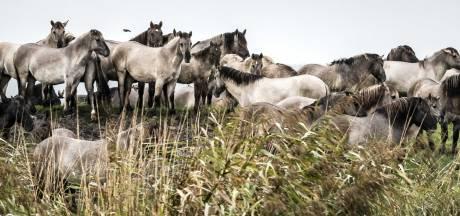 Paarden in Oostvaardersplassen krijgen ook extra voer