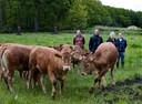 De Limousins van de familie van Lievenoogen staan verspreid over tal van percelen in en rond Soerendonk.