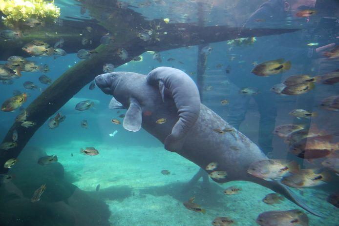 Caribische zeekoe.