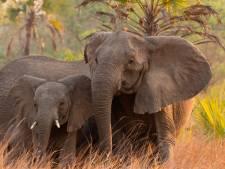 Un braconnier présumé piétiné à mort par un éléphant en Afrique du Sud