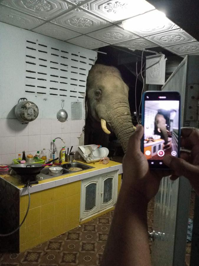 L'animal massif a passé sa tête à l'intérieur de la cuisine de Kittichai Boodchan aux premières heures dimanche, utilisant sa trompe pour trouver de la nourriture