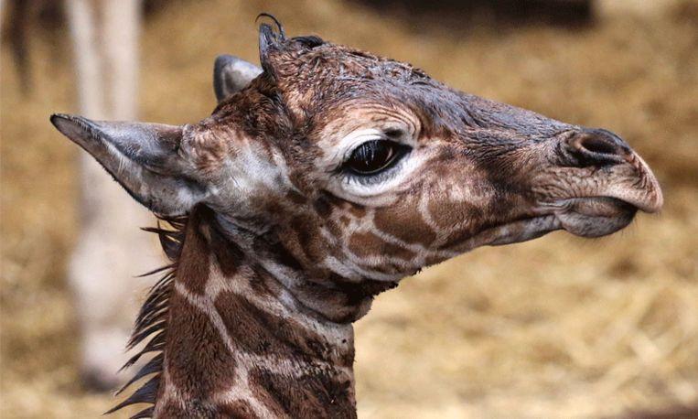 Zo lief: derde giraffe geboren in Artis