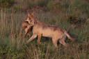 Epenaar Benny Pieters legde de mannetjeswolf jagend vast tijdens een wandeling op de Veluwe.