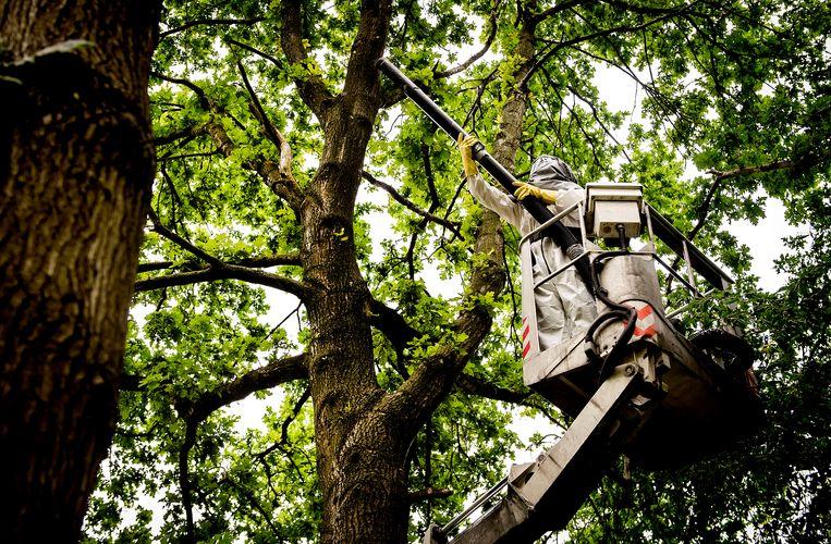 Een boomverzorger bestrijdt de eikenprocessierups in Amsterdam-Zuidoost. Beeld ANP
