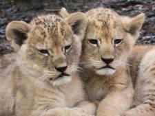 Dit zijn de namen van de leeuwenwelpjes in DierenPark Amersfoort
