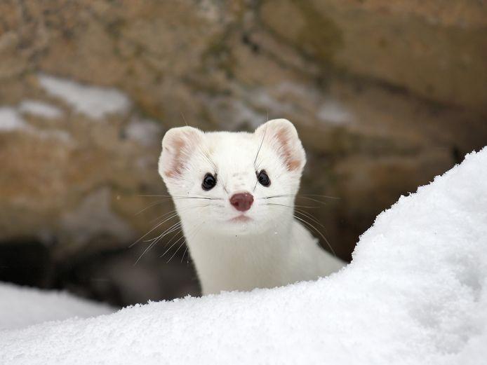 De hermelijn is een schuw dier dat vroeger erg gegeerd was om dure mantels van te maken.