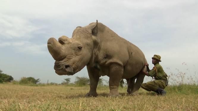 Het gaat niet goed met Sudan, het laatste mannetje onder de noordelijke witte neushoorns