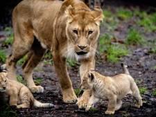 Schattig! Pasgeboren leeuwenwelpjes zetten eerste stapjes buiten in DierenPark Amersfoort