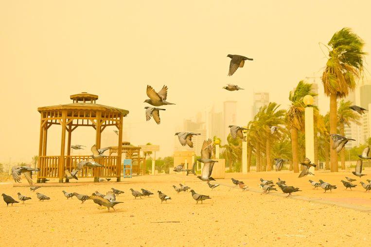 Een zandstorm in Koeweit kleurt de straten geel. Deze duiven lijken zich er weinig van aan  te trekken, maar het verkeer – op land en op zee – ondervond ernstige hinder van het weer.  Beeld EPA