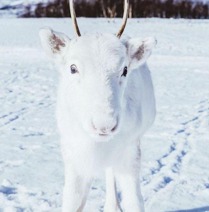 Het zeldzame witte rendier in Noorwegen.