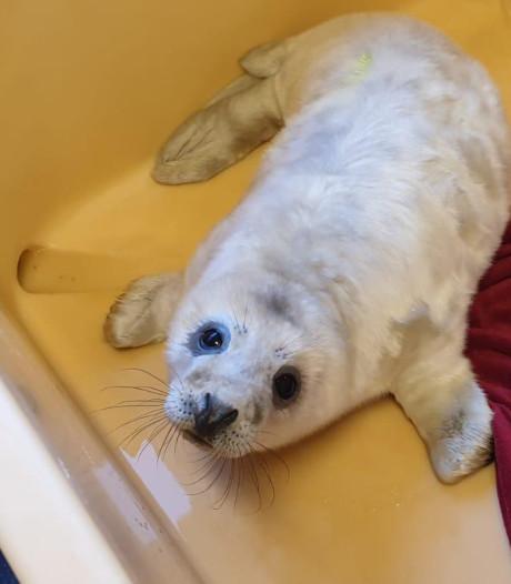 A Seal krijgt eerste verweesde grijze puppy binnen