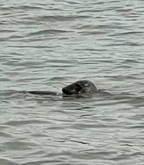'Zeldzame' verschijning in Nieuwe Maas: zeehond dobbert rond en 'verkent' Rotterdam