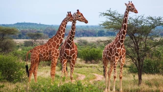 Giraffen raken met lange hals stroomleidingen en sterven in Kenia