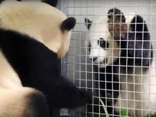 Nog geen pandababy op komst bij Ouwehands Dierenpark