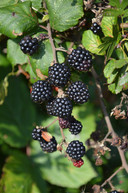 Een bramenplant levert niet alleen heerlijke vruchten af, het is ook een prachtige klimplant.
