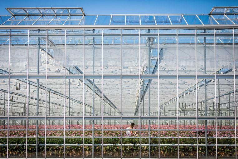 Willekeurige tuinbouwkassen in het Westland.  Beeld Hollandse Hoogte
