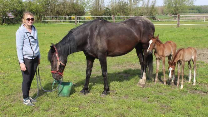 Schattig en uitzonderlijk: paard Lisongera (5) zet gezonde tweeling op de wereld