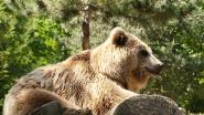 Franse beer op rooftocht in Spanje: acht dode schapen