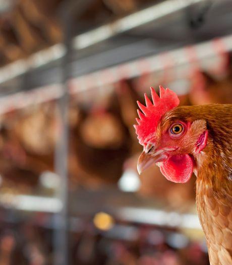 Boeren Utrechtse Heuvelrug vrezen voor vroeg vogelgriepseizoen: 'Dat kostte een paar ton vorig jaar'