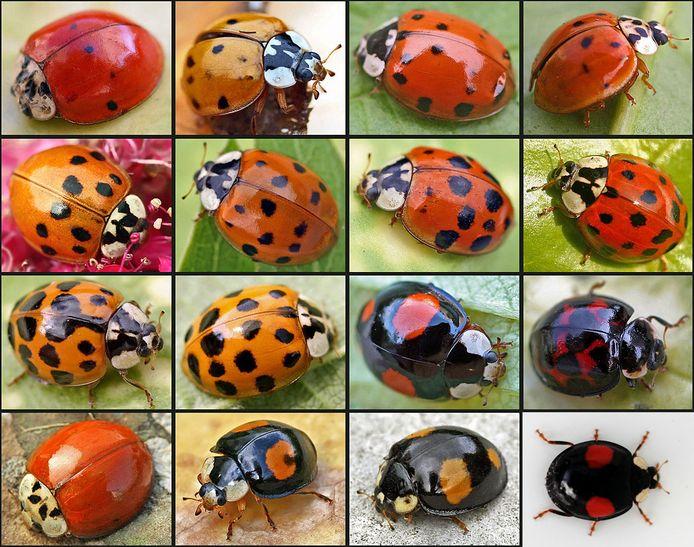 Dit zijn allemaal variaties van een en dezelfde soort: het veelkleurige lieveheersbeestje.