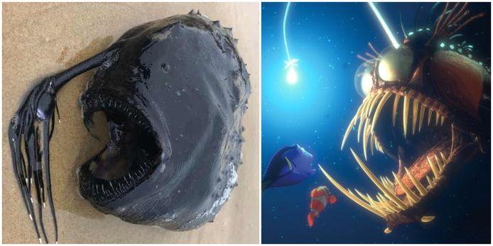 De diepzeehengelvis die werd gevonden in Californië en de vis in de bekende animatiefilm van Disney/Pixar 'Finding Nemo'.