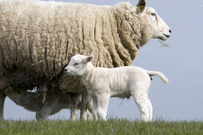 Foto ter illustratie. Dit zijn niet schapen van Arnold Doornhegge.